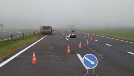 Стадо коров на трассе М4 стало причиной серьезной аварии