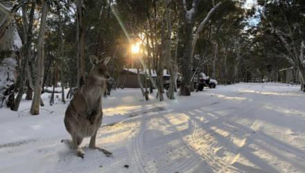 Нынешнему поколению кенгуру повезло – они увидели снег.