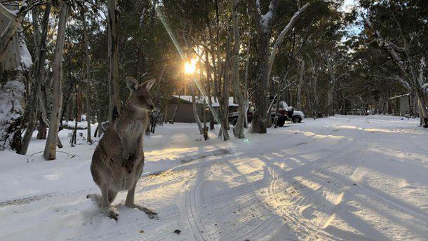 Нынешнему поколению кенгуру повязло – они увидели снег.