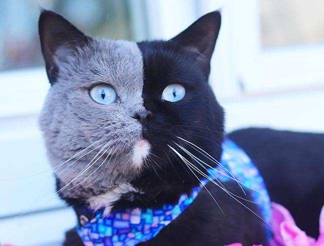 Кошка с «двумя лицами» благодаря своему редкому окрасу стала звездой Инстаграма