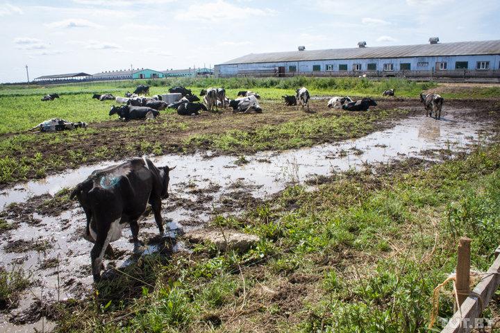 Кошмарная ситуация на ферме под Горками. Мертвые телята, истощённые коровы и антисанитария