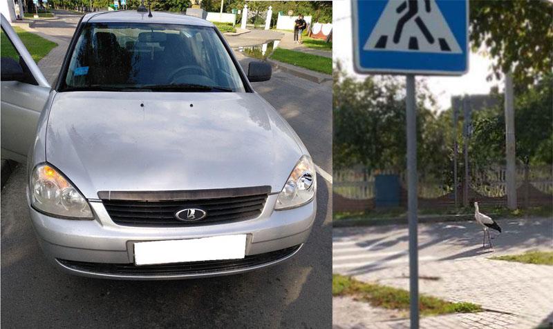 В Столине аист с высокой социальной ответственностью столкнувшись с авто решил дождаться ГАИ