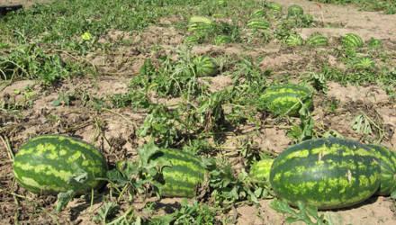 Бахчеводство перспективное направление для аграриев Могилевской и Витебской областей