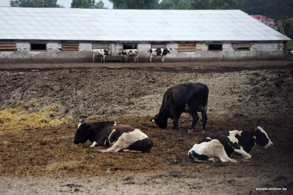 Продолжение истории про несчастных коров молочно-товарного комплекса «Паршино»
