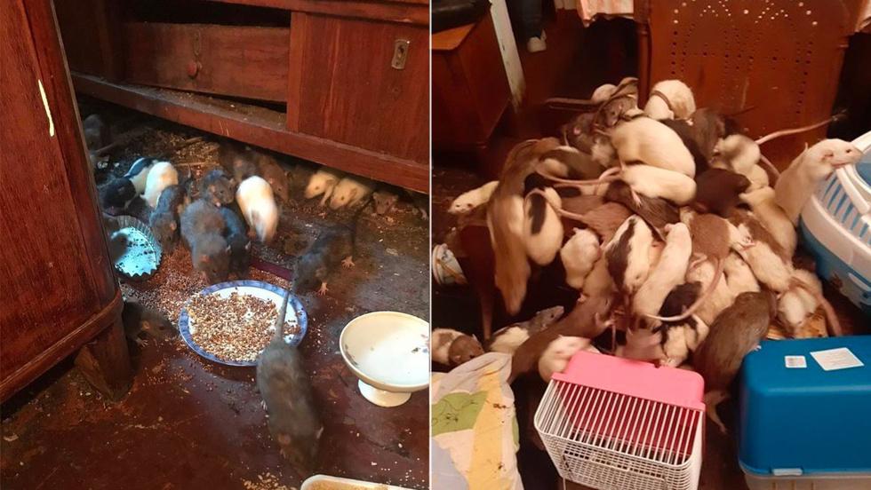 Пенсионерка из Подмосковья развела в квартире более 500 крыс и морила их голодом