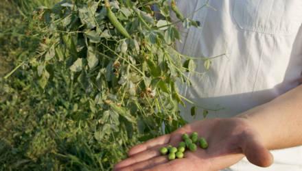 В Могилёвской области впервые вырастили второй урожай