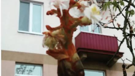 Фотофакт. В Бобруйске зацвел каштан (да, в сентябре!)
