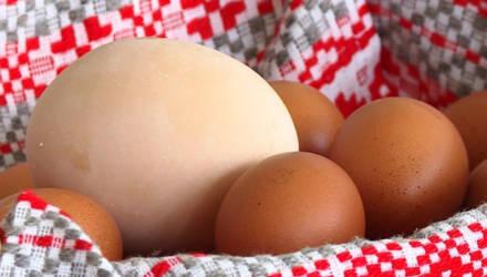 Самое большое в Беларуси куриное яйцо снесено на птицефабрике в Могилёвском районе (видео)