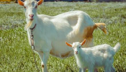 Женщина в Горках чуть не попала в аварию из-за козы