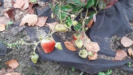 В Могилёве созрел новый урожай клубники