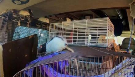 Видеофакт: вместе с хозяйкой в фургоне Dodge проживали более трёх сотен крыс