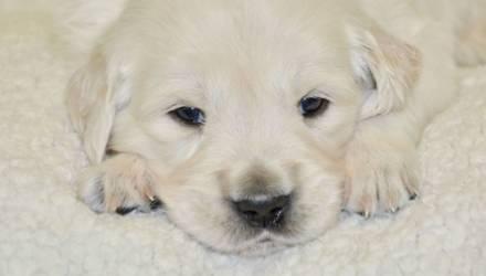 Зелёный щенок золотистого ретривера родился в Германии