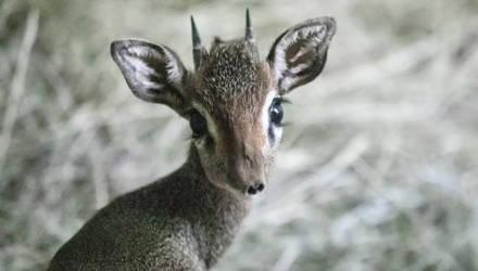 В зоопарке впервые родился детеныш крошечной антилопы дик-дик