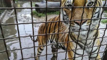 10 тигров застряли на польско-белорусской границе. Уже 9