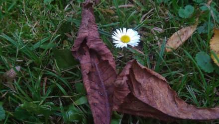 Ничего хорошего. Почему в октябре цветут каштаны — и чем это чревато