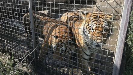 Дело «10 тигров» получило продолжение: в Польше россиянина признали организатором перевозки животных. Прокурор решил предъявить ему обвинение