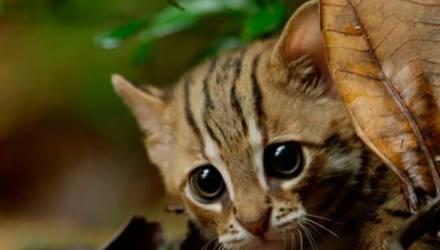 Это стоит увидеть: самая маленькая и редкая в мире дикая кошка попала на видео