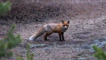 В Могилёве опять замечена лиса. Предположительно, бешеная