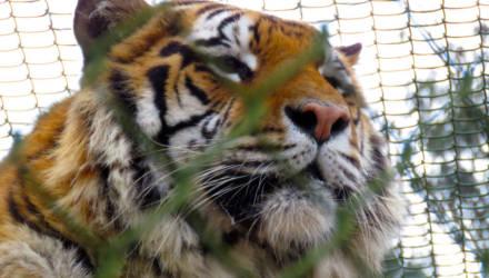 Спасенных на границе тигров разделят между Польшей и Испанией