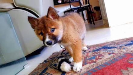 Милый щенок забрел к дому женщины и удивил ее. Ведь зверек оказался настоящим хищником