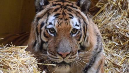 Ветеринар под следствием, организатор на свободе. Что слышно по делу застрявших на границе тигров