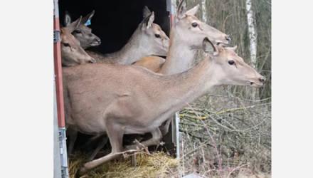 В Дрибинских лесах новые обитатели – 45 благородных оленей