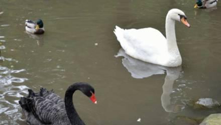 Перезимуют ли лебеди на фатинском заливе в Могилёве (видео)