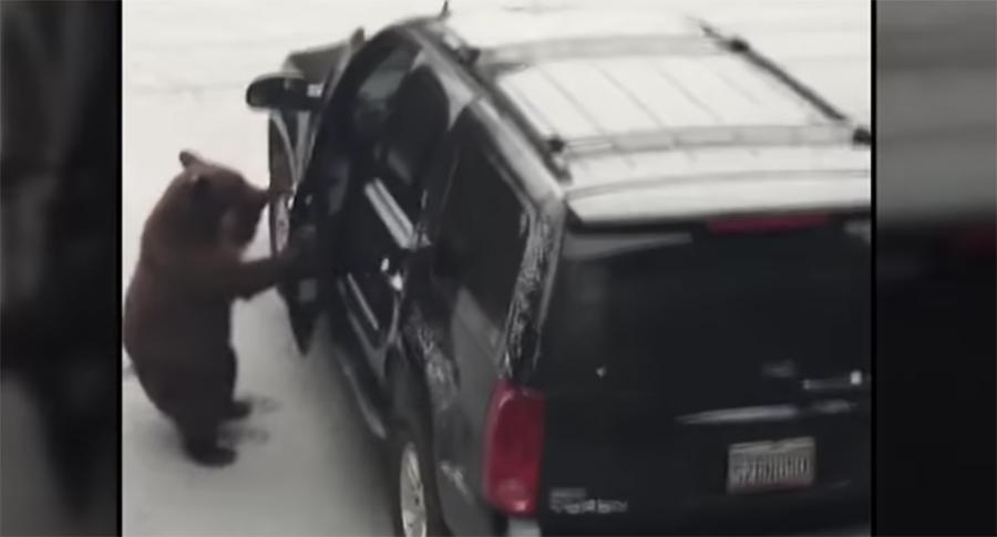 В Калифорнии медведь пытался угнать автомобиль (видео)