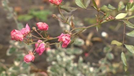 В Могилёве в декабре зацвели розы, маргаритки и примулы (видео)