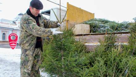Новогодние деревья начнут продавать в Могилёве в 11 часов 23 декабря