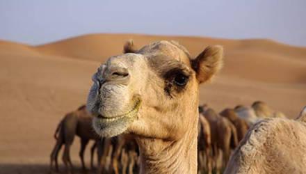 Власти Австралии решили убить тысячи верблюдов из-за нехватки воды