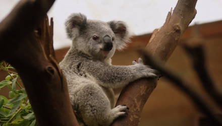 Молодые австралийцы прославились, организовав спасательный автопатруль для коал