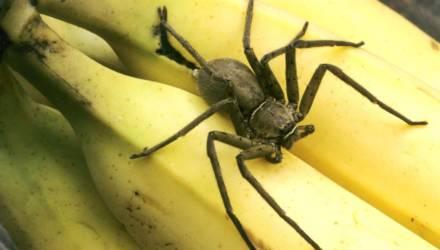Сотни пауков выползли из лопнувшей грозди бананов: хозяйке пришлось съехать из дома
