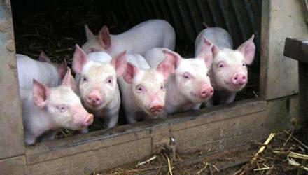 В Польше фермера съели собственные свиньи