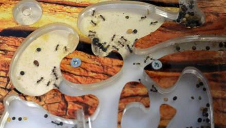 РЕПОРТАЖ: Как в Могилёве создают муравьиные фермы