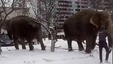 ВИДЕОФАКТ: в Екатеринбурге по улицам гуляли сбежавшие из цирка слоны