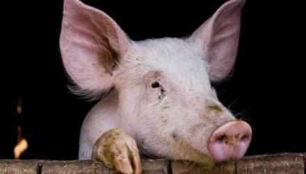 Могилёвская область: пороки свиноводства