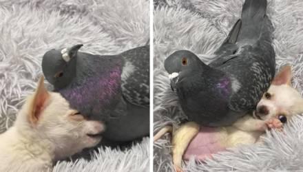 Самое милое, что вы увидите сегодня: голубь, который не летает, подружился со щенком, который не может ходить