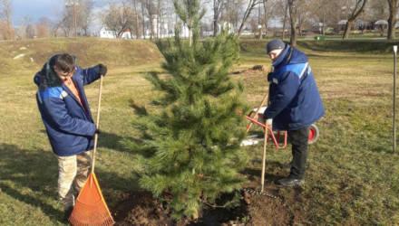 Кедры дополнили коллекцию деревьев Подникольского парка в Могилеве