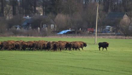 На Гродненщине стадо зубров вышло на поле поесть озимых, местные в шоке