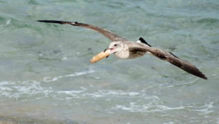 Фотограф отправилась на калифорнийский пляж поснимать дикую природу. И застала чаек, дерущихся за фаллоимитатор