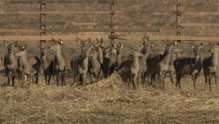 Благородных оленей завезли в леса Климовичского района (видео)
