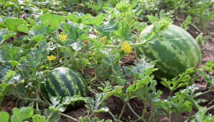 В Могилевской области приступили к посеву арбузов