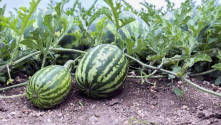 В Могилевской области начнут выращивать арбузы