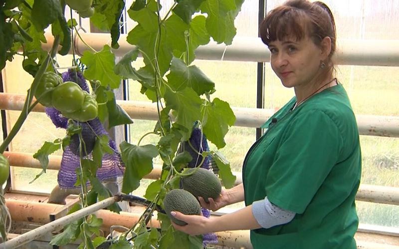 Арбузы и дыни выращивают в Могилевской области (видео)