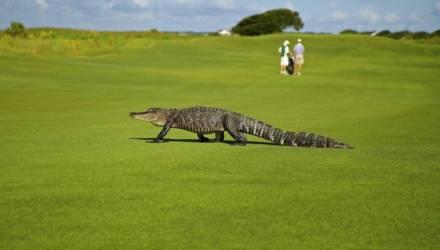 Крокодилы попытались съесть друг друга на поле для гольфа (видео)