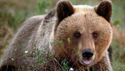 «Какое хладнокровие!»: итальянский подросток встретил медведя и не растерялся (видео)