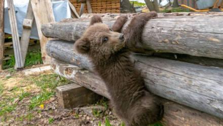 Как поживает медвежонок, который прибился к фермеру в Борисовском районе