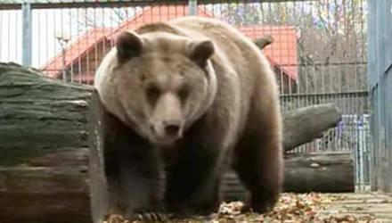 Могилевский медведь Федор купается в бассейне (видео)
