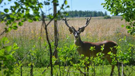 «Не только ж лосям по лесам бродить!» Под Бобруйском выпустили на свободу благородных оленей
